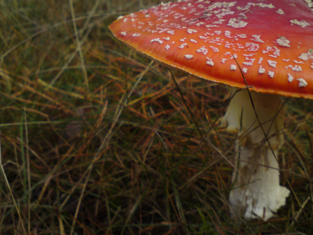 Fly Agaric and below