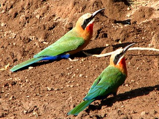 White-fronted Bee Eaters | by biancapreusker