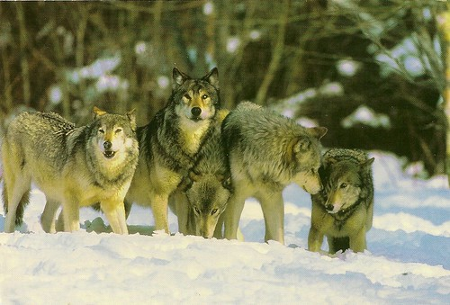 Russia-Native Animals - Wolves | Card received from Mzk ... |Native Animals From Russia
