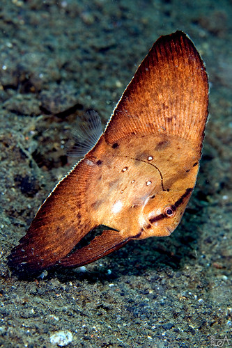 Juvenile Circular Batfish | by Lea's UW Photography