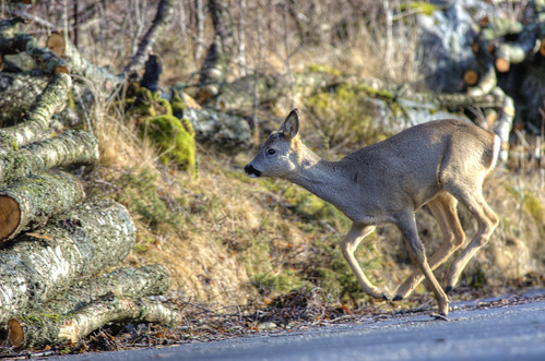Deer | by Per Erik Sviland