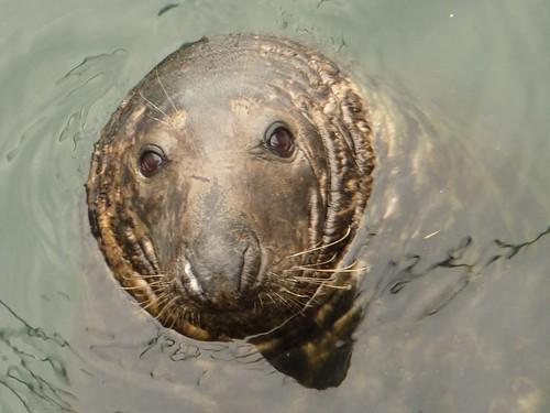 Fat Sea Lion 86
