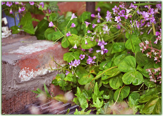 Clover at my Doorstep | by Zeetz Jones