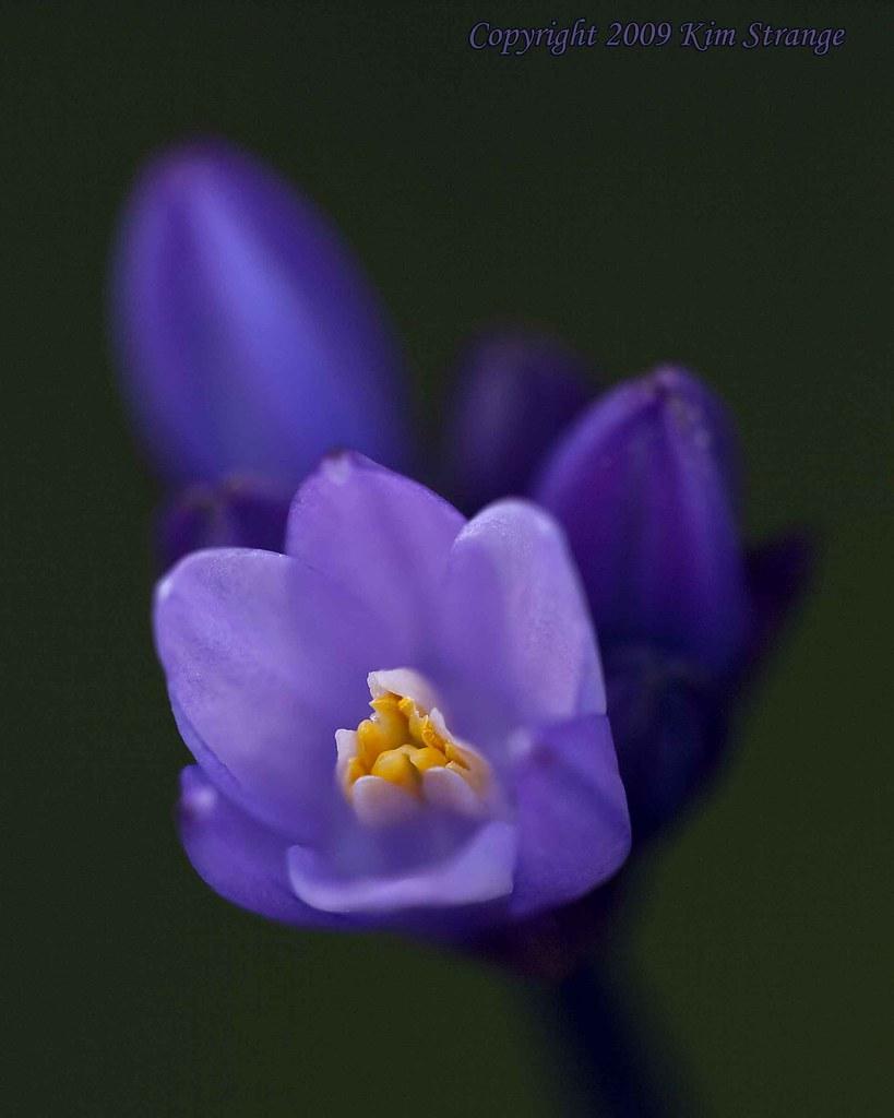 Small Purple Flower Purple Flower Kimstrange Flickr