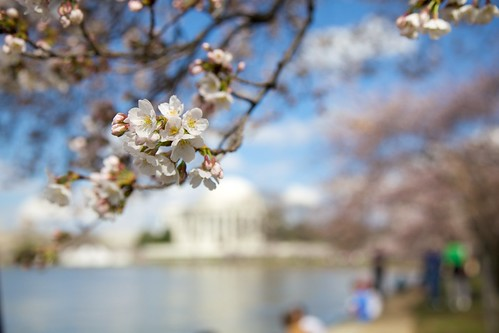DC Cherry Blossoms | by jenconsalvo