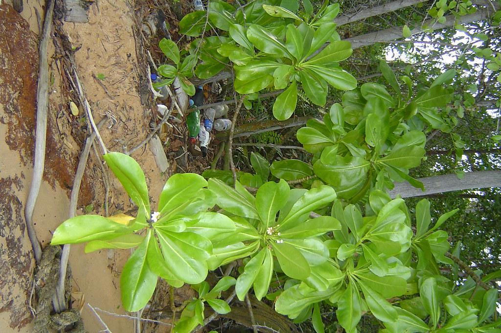 Dsc09799 big leaves with white flowers a the tree is rat flickr dsc09799 big leaves with white flowers a by zuraidahmistam mightylinksfo