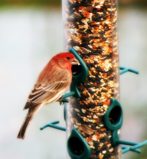 Male House Finch Feeding | by mightyquinninwky