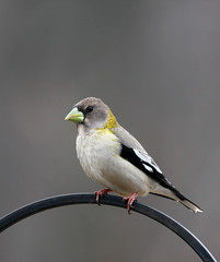 The Female Evening Grosbeak | by The Nature Nook