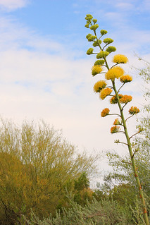 Another Bloomin' Agave | by jhaskellus