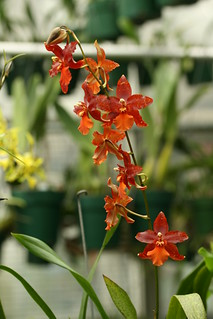 Odontoglossum 'Willow Pond' | by Brooklyn Botanic Garden
