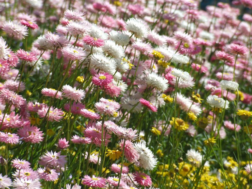 Australian Spring Flowers For Doc From The Archives Till Flickr
