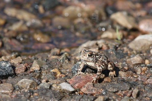 Toad on the Rocks | by Jason Idzerda
