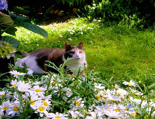 My cat among the daisies | by FotoOle