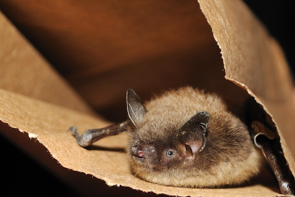 Little Brown Bat Myotis Lucifugus Stock Photo | Getty Images
