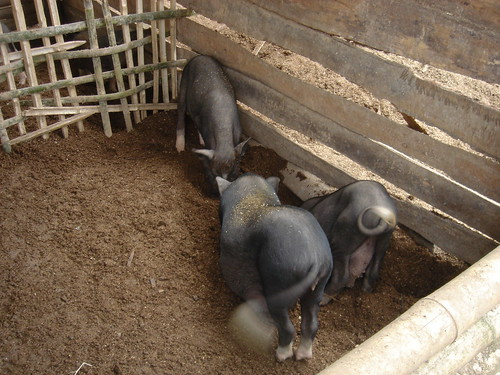 piggery | by ceila♪♫♪