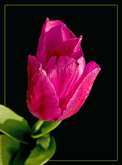 Pink Tulp (Explore(d) | by Rosita So Image