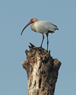 5-2CB White Ibis Upon a Stump | by janeswalden