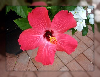 Pink hibiscus | by OceanViewPalm