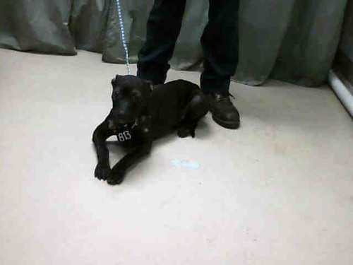 Solid Black Male PIt Bull | Poor little solid black young ...