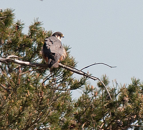 Up a tree posing - just a record shot really | by raptorsareme2