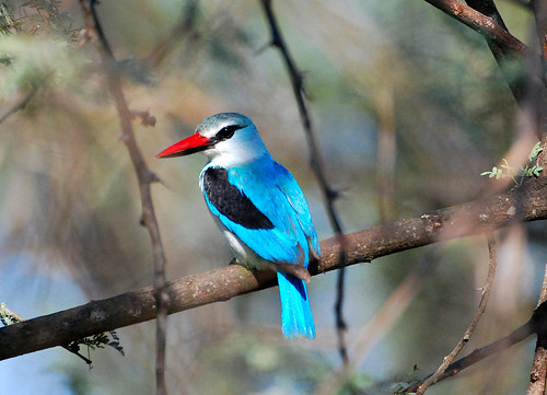 Woodland Kingfisher  (Halcyon senegalensis) 433 | by Ian N. White