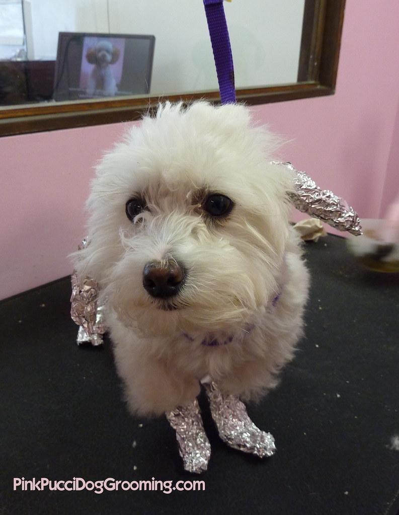 Dog Safe Hair Coloring Waiting For Color To Set Pink Flickr
