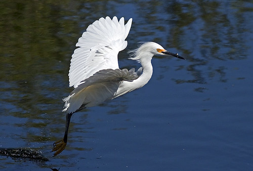 Snowy Egret in Flight Fishing (Egretta thula) | by pedro lastra