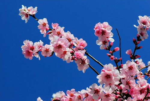 Finally,,,,,, Spring flower and colours (ornamental Cherry blossom) | by natureloving