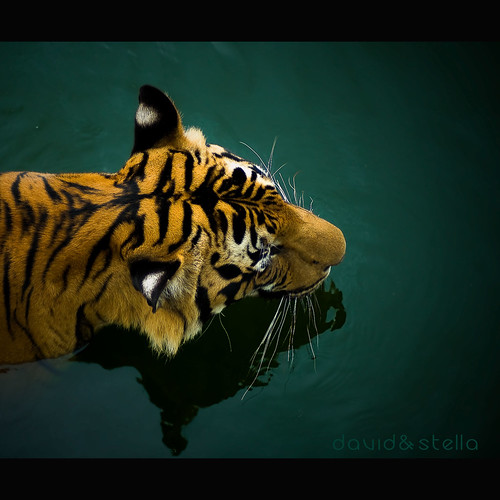 a report on the tiger sub species The south china tiger is considered to be the most ancient of the tiger subspecies and is distinguished by a particularly narrow skull,  following the report, .