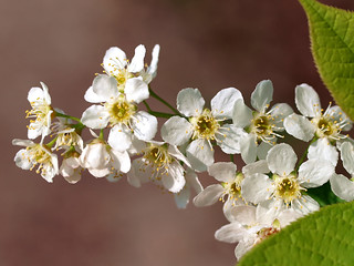 Flowers of a Bird Cherry tree. | by Bienenwabe