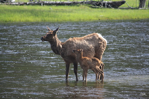 Elk and calf in river | by doveoggi