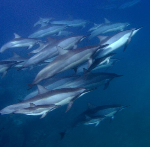 dolphin pod 1 | by bluewavechris