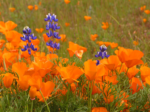 Poppy's and Lupine--Carrizo Plains, 2005 | by MistyDaze