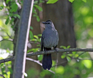 Gray Catbird | by Laura Erickson