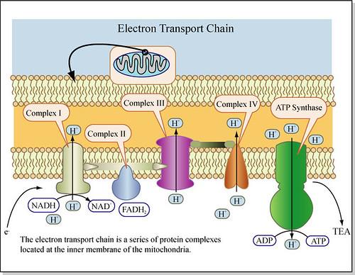 D E on Simple Mitochondria Diagram