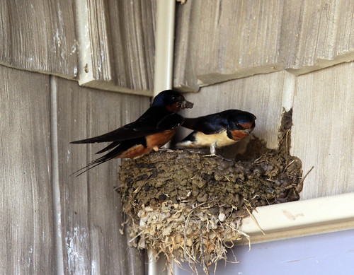 Barn Swallow | by Laura Erickson