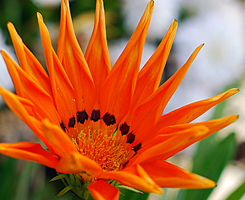 Orange Gazania | by RedheadedWoman