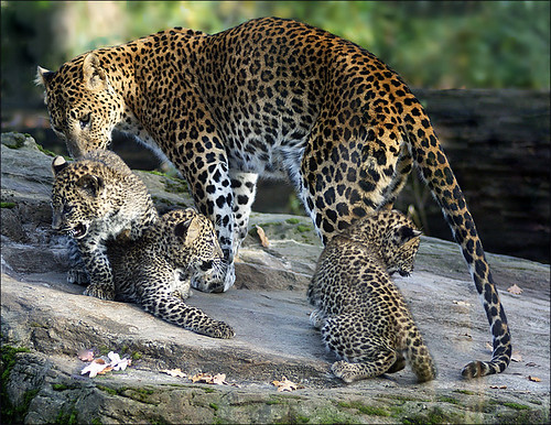 Family Sri Lanka Leopards | by Foto Martien