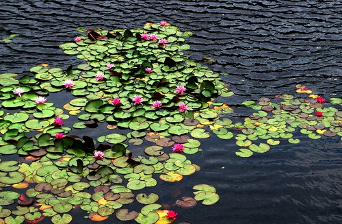 water lilies, naoshima | by hopemeng