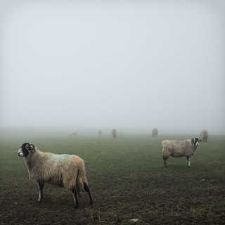 Sheep in the mist | by publicenergy
