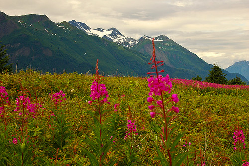Fireweed | by DaveReichert
