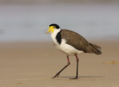 Masked Lapwing | by 0ystercatcher