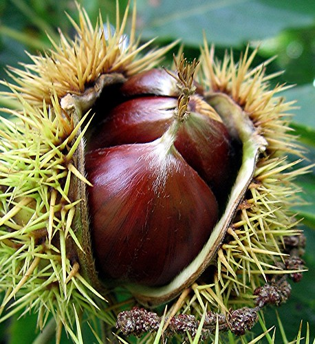 Chestnuts ...........  Thank you for 100+  :) | by Mary Faith.