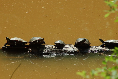 Turtles on Ivy Creek | by A. Drauglis