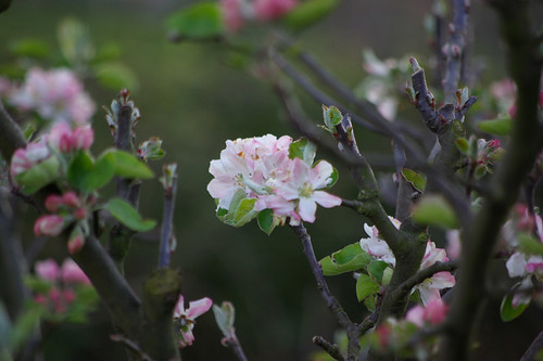 Apple Blossom - Northern Spain | by The Hungry Cyclist