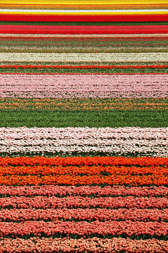 tulip fields | by lluìs