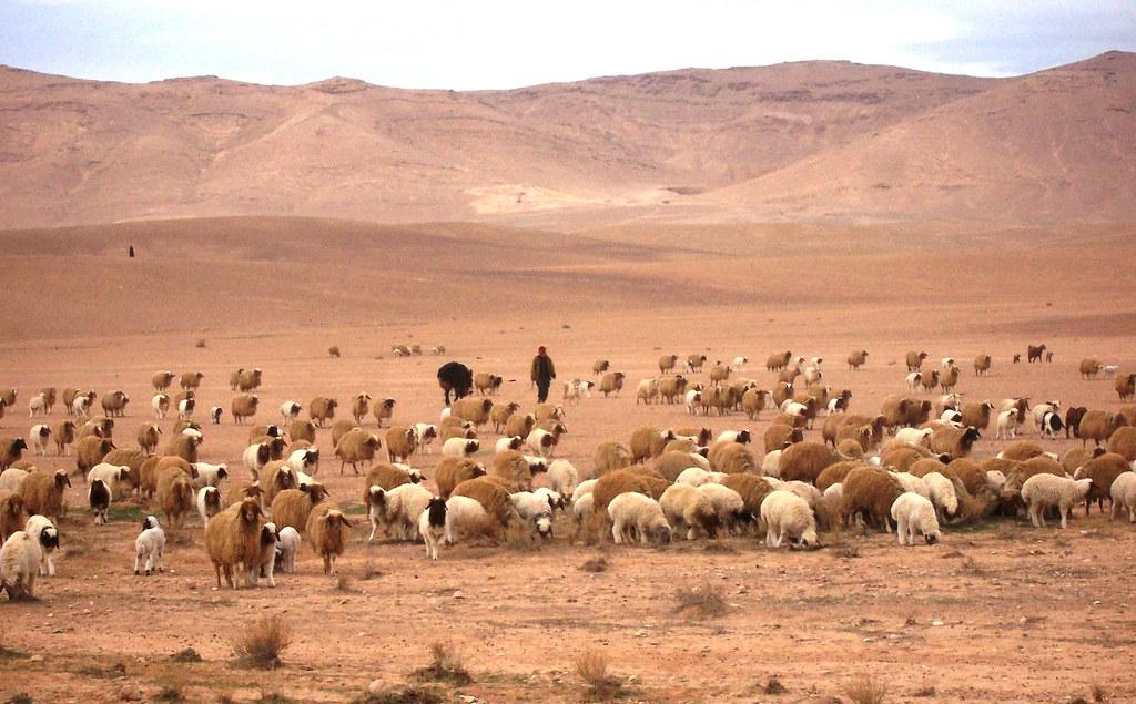 looking for pasture syrian desert david bonnie flickr