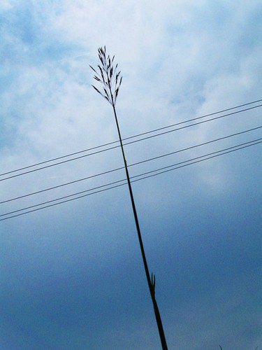 Tall grass  Beyond the electric line | by kochumvk