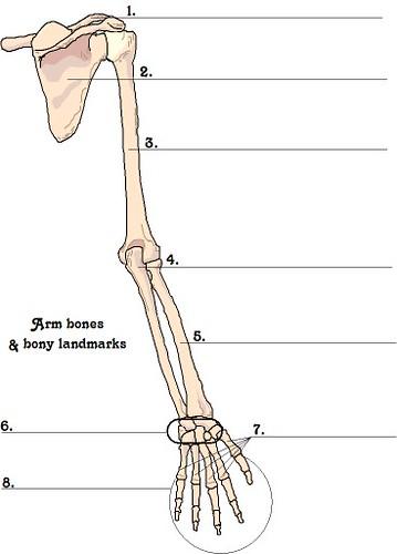 arm bones | Lorie Warren | Flickr
