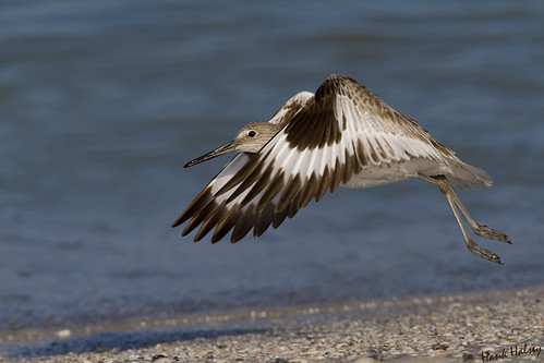 Willet | by Hank Halsey